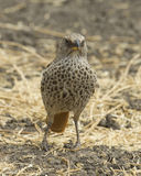 Rufus Tailed Weaver frontview standing in grass. In the Ngorongoro Crater Royalty Free Stock Images