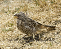 Rufus Tailed Weaver sideview standing in grass with beak open. In the Ngorongoro Crater Stock Images
