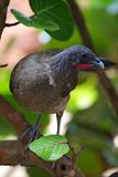 Rufus-vented Chachalaca, Ortalis ruficauda. In the garden at the Blue Waters Inn, Speyside, Tobago Royalty Free Stock Photo