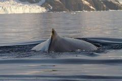 Rug en vin en gebocheldewalvissen in de Zuidpool Royalty-vrije Stock Foto