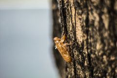 Rugga av cikadan på träd, rugga för cikada arkivbilder