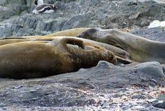 Rugga elefantskyddsremsor i Antarktis Royaltyfria Bilder