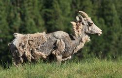 rugga får för bighorn Arkivfoto