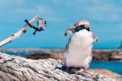 Rugga guling-synade pingvinet och kameran på Kaikoura, nya Ze Royaltyfri Foto