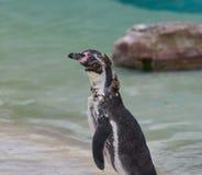 Rugga pingvin Royaltyfri Bild