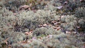 Ruggar av mossa fördelade på jordningen i skogen arkivfilmer
