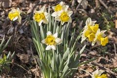 Rugge av blommande gula påskliljor Royaltyfria Bilder