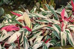 Rugge av den Stromanthe sanguineaväxten fotografering för bildbyråer