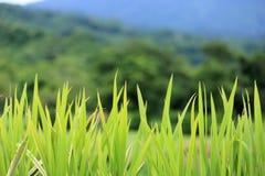 Rugge av gräs Arkivbild