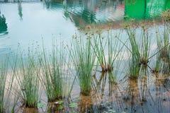 Rugge av gräs i vattendammet Royaltyfria Bilder