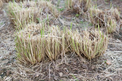 Rugge av gräs klipps royaltyfri bild