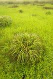 Rugge av gräs i fält Arkivbild