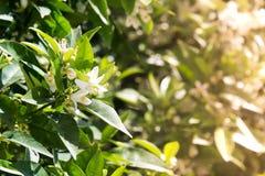 Rugge av jasminblommor exponerade av en varm vårsol royaltyfri bild