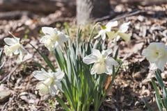 Rugge av krämigt - vita påskliljor arkivbild
