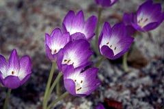 Rugge av krokusar på våren jordningen arkivbild