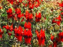 Rugge av ljusa röda sturts blommor för ökenärta royaltyfria bilder