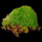 Rugge av Moss Close-Up på svart bakgrund Arkivbilder
