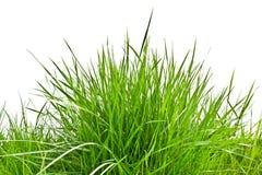Rugge av nytt vårgräs arkivbild