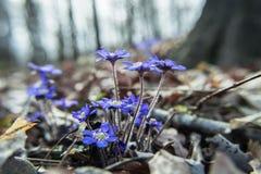 Rugge av purpurfärgade liverleafblommor i skogen royaltyfri fotografi