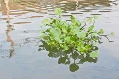 Rugge av vattenhyacinten royaltyfria foton