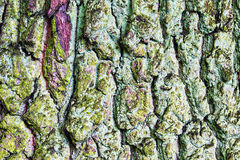 Rugged bark of a tree Stock Photography