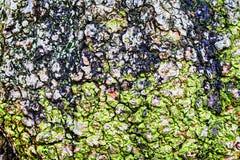 Rugged bark of a tree Royalty Free Stock Photos