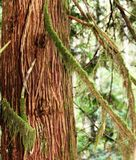 Rugged Beauty of Cedar Bark. The rugged beauty of the Cedar trees bark contrasts nicely with  its branches which are softly draped with moss.  A mist provides a Royalty Free Stock Image