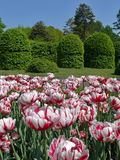 Rugged flower bed of white tulips with red stripes in the park on the background of decorative trimmed trees. For your design stock image