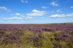 Rugged heather moorland. A rugged moorland landscape with purple flowering heather and grasses under a blue sky with white clouds in summer stock photography