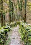 Rugged hiking path through thick forest covered in vines and plants and flanked by traditional old dry rock walls covered in lush. Moss near Ponte Brolla in the Royalty Free Stock Photo