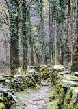 Rugged hiking path through thick forest covered in vines and plants and flanked by traditional old dry rock walls covered in lush. Moss near Ponte Brolla in the Royalty Free Stock Images