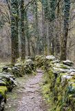 Rugged hiking path through thick forest covered in vines and plants and flanked by traditional old dry rock walls covered in lush. Moss near Ponte Brolla in the Stock Photos
