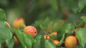 Rugged, juicy, orange, bright, delicious apricots on the branch with water drops in the garden. Plant in the rain, close up, dynam. Ic scene, toned video, 50 fps stock video