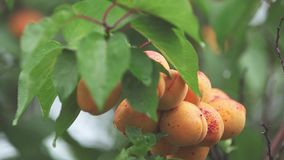 Rugged, juicy, orange, bright, delicious apricots on the branch with water drops in the garden. Plant in the rain, close up, dynam. Ic scene, toned video, 50 fps stock video footage