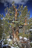 The Rugged Old Tree. Old pine tree weathered looking with early snow growing betweeen rocks in the Wasatch national forest in Utah USA Stock Photography