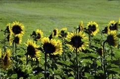 Ruggen van zonnebloemen Royalty-vrije Stock Foto