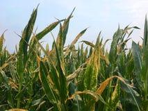 Ruggine di foglia nordica del cereale di mais & di x28; Helminthosporium o Turcicum& x29; i fotografie stock libere da diritti