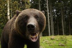 Ruggiti arrabbiati dell'orso Immagine Stock