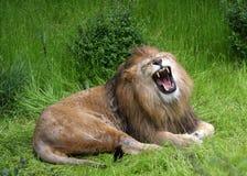 Ruggito dei leoni Fotografie Stock