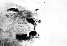 Ruggito dei leoni Fotografia Stock