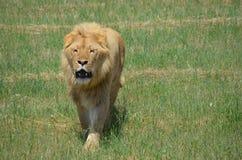 Ruggito del leone Immagine Stock Libera da Diritti