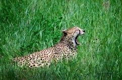 Ruggito del leopardo Immagini Stock