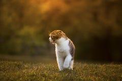Ruggito scozzese del gattino Fotografia Stock