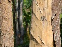 Ruggningträd Arkivbild