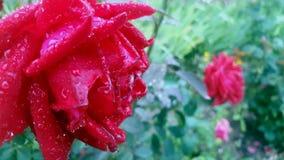 Rugiada del briciolo di Rosa fotografie stock