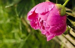 Rugiada del fiore della peonia di mattina fotografia stock
