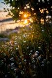 Rugiada dell'erba del sole di tramonto Fotografie Stock