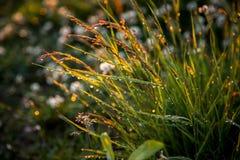 Rugiada dell'erba del sole di tramonto Immagini Stock