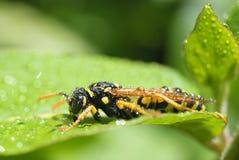 Rugiada della vespa di mattina Fotografie Stock Libere da Diritti