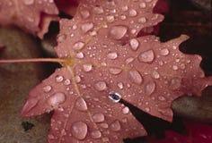 Rugiada di autunno Immagini Stock